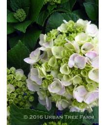 Hydrangea macrophylla 'Double Delights Wedding Ring'