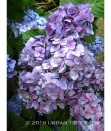 Hydrangea macrophylla 'Endless Summer Bloomstruck'