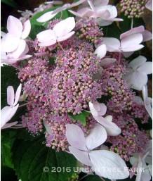 Hydrangea macrophylla 'Let's Dance Diva'
