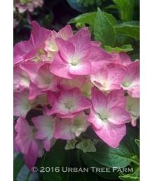 Hydrangea macrophylla 'Pieta'