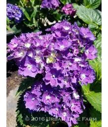 Hydrangea macrophylla 'Royal Purple'