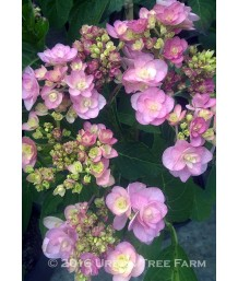 Hydrangea macrophylla 'You Me Passion'