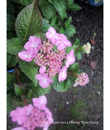 Hydrangea macrophylla 'Endless Summer Twist & Shout'