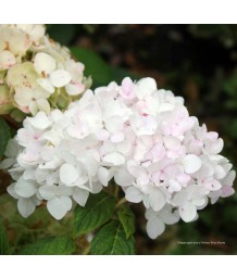 Hydrangea macrophylla 'Endless Summer Blushing Bride'