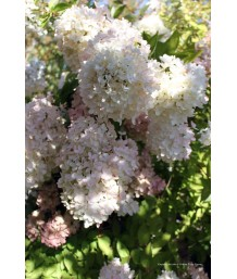 Hydrangea pan. Grandiflora Std
