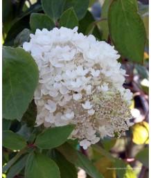 Hydrangea paniculata 'Limelight' BUSH