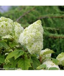Hydrangea quercifolia 'Gatsby Moon'