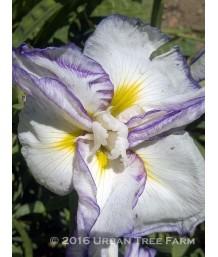 Iris ensata 'Frilled Enchantment'