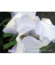 Iris Bearded - 'English Cottage'