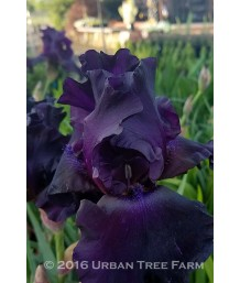 Iris Bearded - 'Superstition'