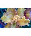 Iris PCH 'Canyon Sunshine'