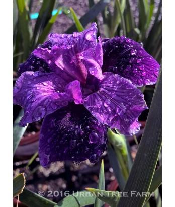 Iris PCH 'Dark Delight'