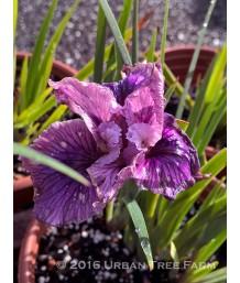 Iris PCH 'Idle Chatter'