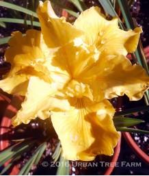 Iris PCH 'Patrick's Gold'