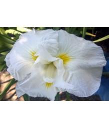 Iris ensata 'Imperial Presence'