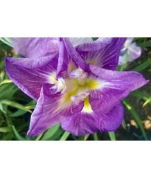 Iris ensata 'Rose World'