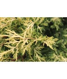 Juniperus ch. Old Gold
