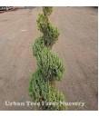 Juniperus chinensis 'Blue Point' SPIRAL