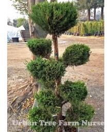 Juniperus chinensis 'Sea Green' FREE-FORM