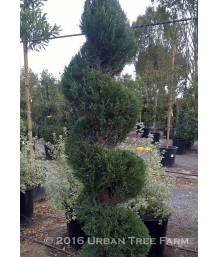 Juniperus chinensis 'Sea Green' SPIRAL