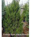 Juniperus chinensis 'Spartan'