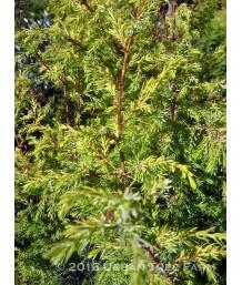 Juniperus communis 'Gold Cone'
