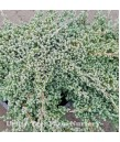 Juniperus procumbens 'Green Mound'