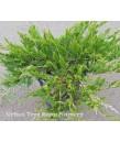 Juniperus sabina 'Buffalo'