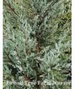 Juniperus scopulorum 'Moonglow'