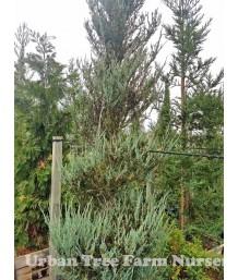 Juniperus scopulorum 'Skyrocket' SPIRAL