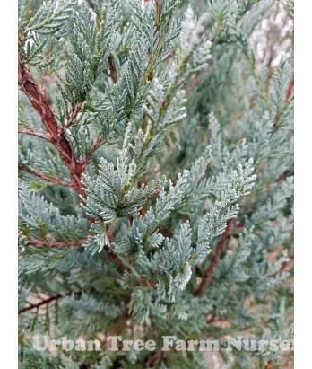 Juniperus scopulorum 'Wichita Blue'