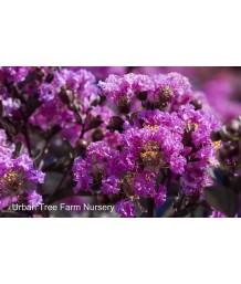 Lagerstroemia 'Black Diamond Purely Purple'
