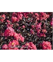 Lagerstroemia 'Black Diamond Shell Pink'