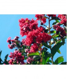 Lagerstroemia indica 'Red Rocket' STD