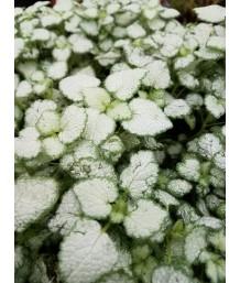 Lamium maculatum 'Orchid Frost'