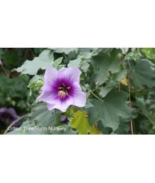 Lavatera maritima/bicolor