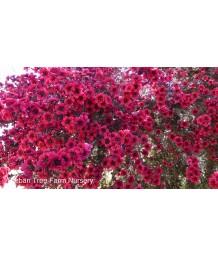 Leptospermum scoparium 'Ruby Glow' STD