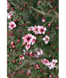 Leptospermum scoparium 'Helene Strybing'