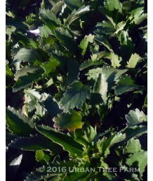 Leucanthemum m. Ester Reed