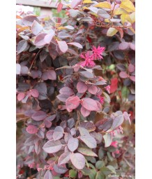 Loropetalum c. Majestic Purple