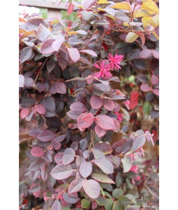 Evergreen Shrub Loropetalum C Purple Majesty Urban Tree Farm