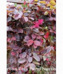 Loropetalum chinense 'Purple Majesty' COLUMN
