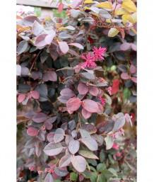 Loropetalum chinense 'Purple Majesty' STD