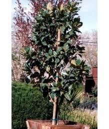 Magnolia grandiflora 'Majestic Beauty'