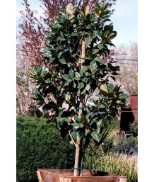 Magnolia g. 'Majestic Beauty'