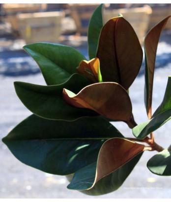 Magnolia grandiflora 'D.D. Blanchard'