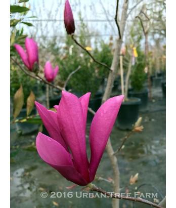 Magnolia lil. nigra