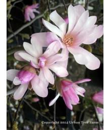Magnolia loeb. Leonard Messel