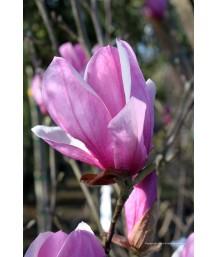 Magnolia s. Alexandrina