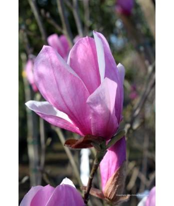 Deciduous Ornamental Shade Magnolia S Alexandrina Urban Tree